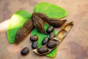 Mucuna pruriens (velvet bean)