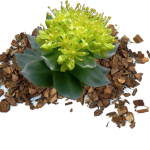 Nootropic rhodiola-rosea helps the brain to fight stress